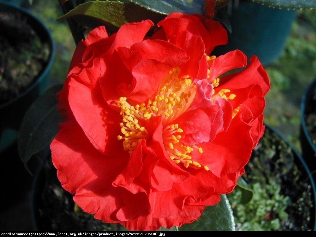 kamelia japońska  Blood of China  - Camellia japonica  Blood of China