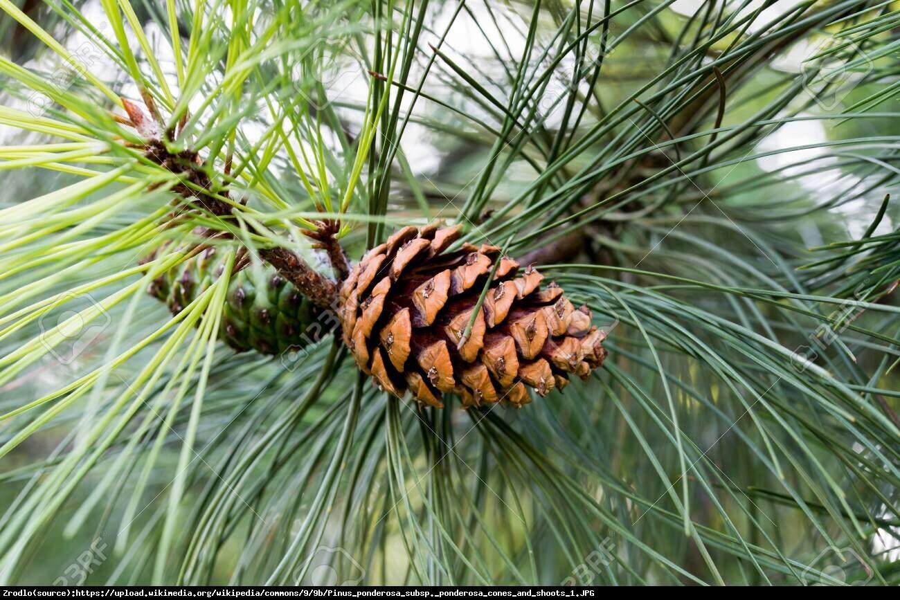sosna żółta - Pinus ponderosa