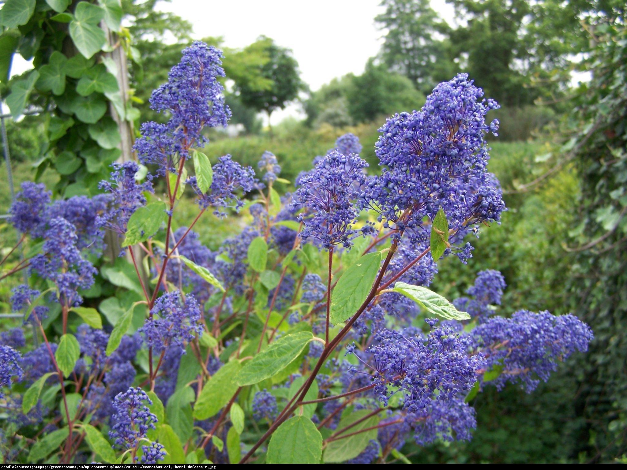Prusznik niebieski  - Ceanothus delilianus
