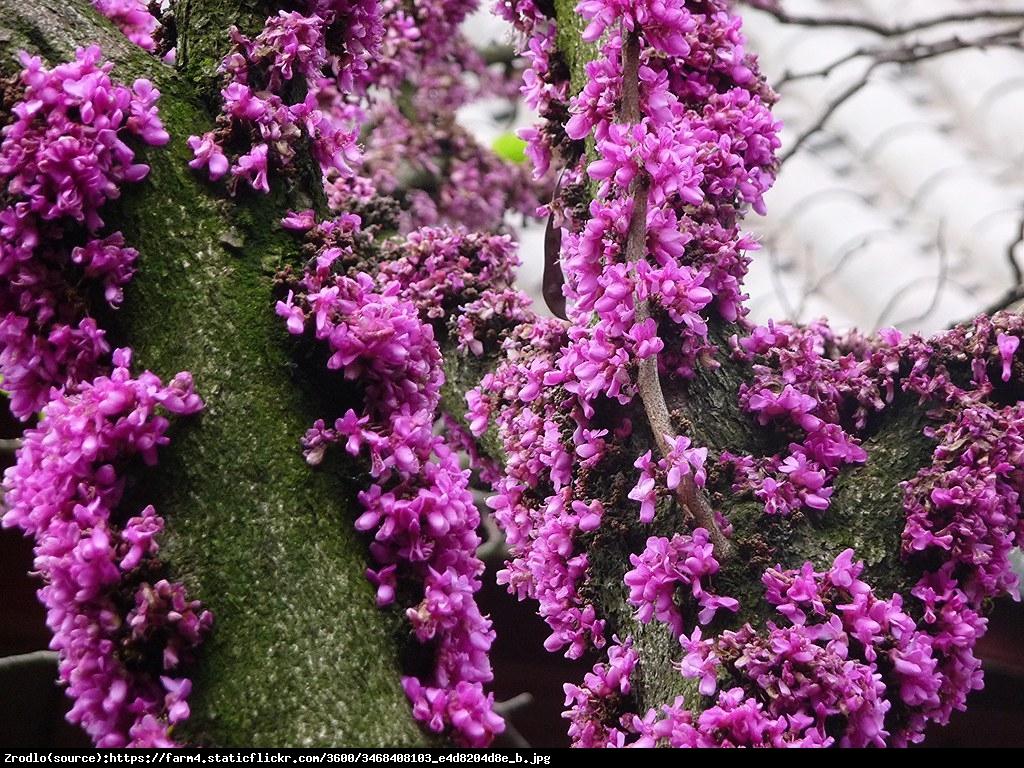 Judaszowiec chiński Avondale - KOLUMNOWY POKRÓJ - Cercis chinensis  Avondale