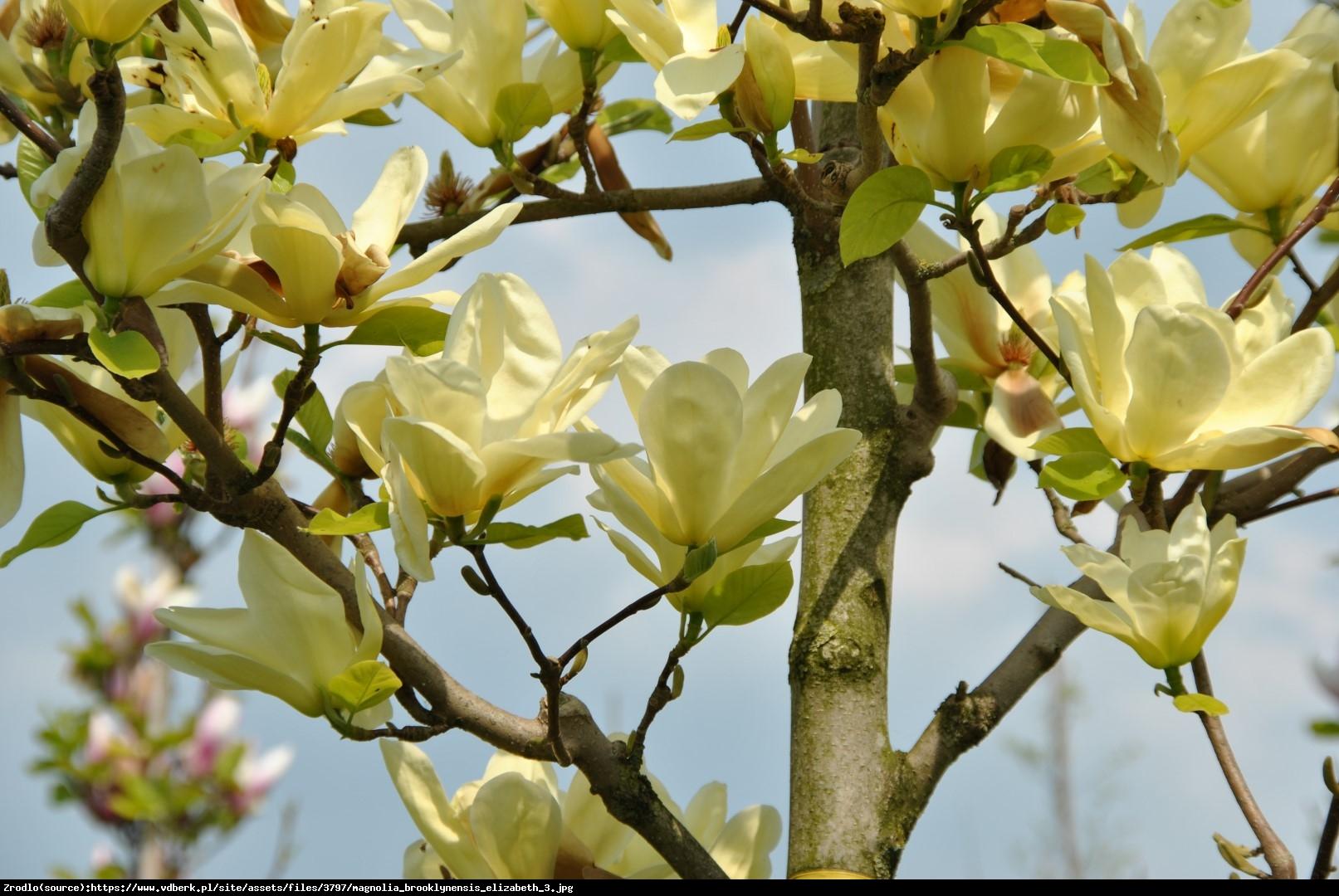 Magnolia  Elizabeth  - Magnolia  Elizabeth