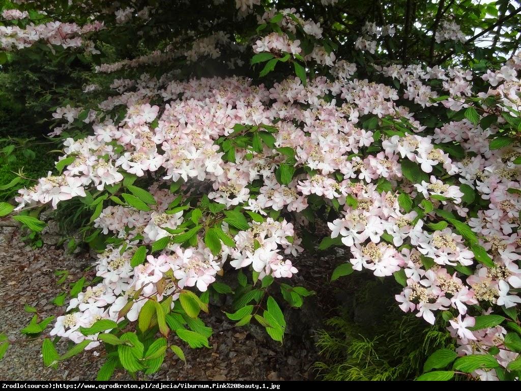 kalina japońska  Pink Beauty  - Viburnum plicatum  Pink Beauty