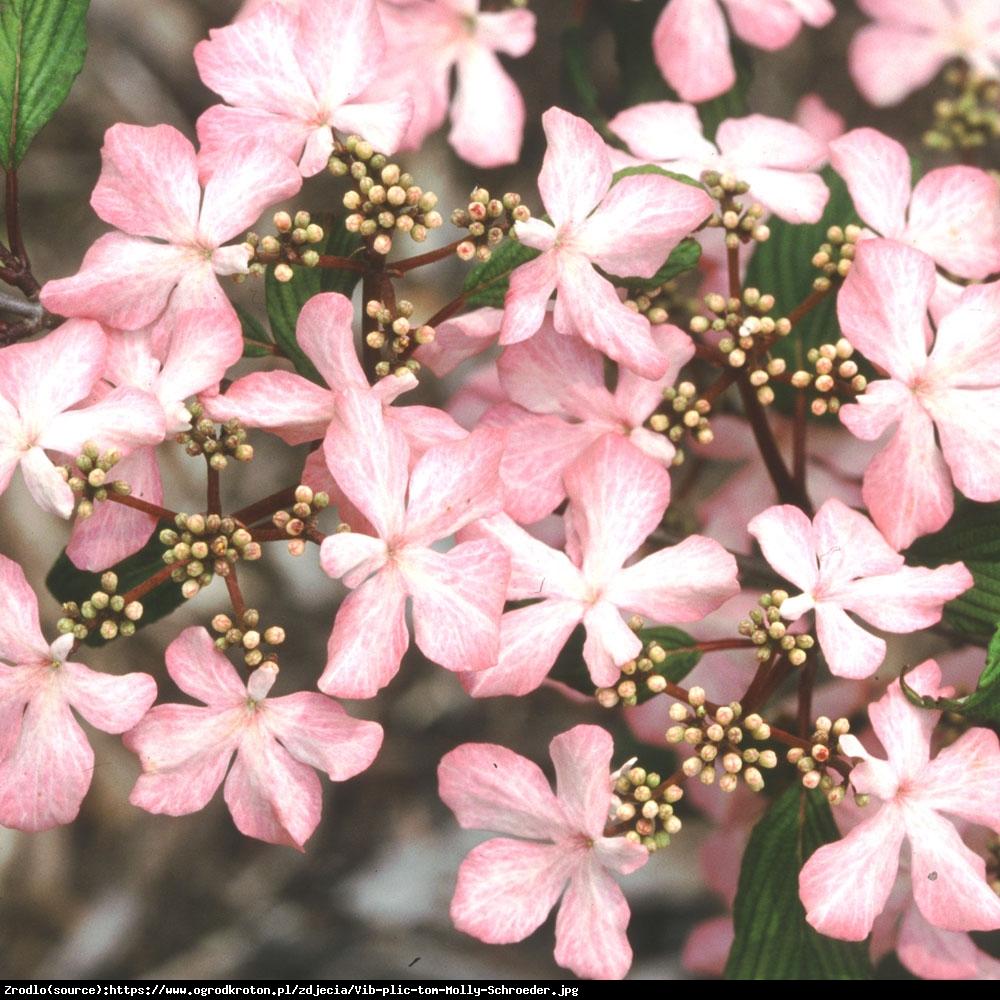 Kalina japońska  Pink Beauty  - różowa piękność!!! - Viburnum plicatum  Pink Beauty