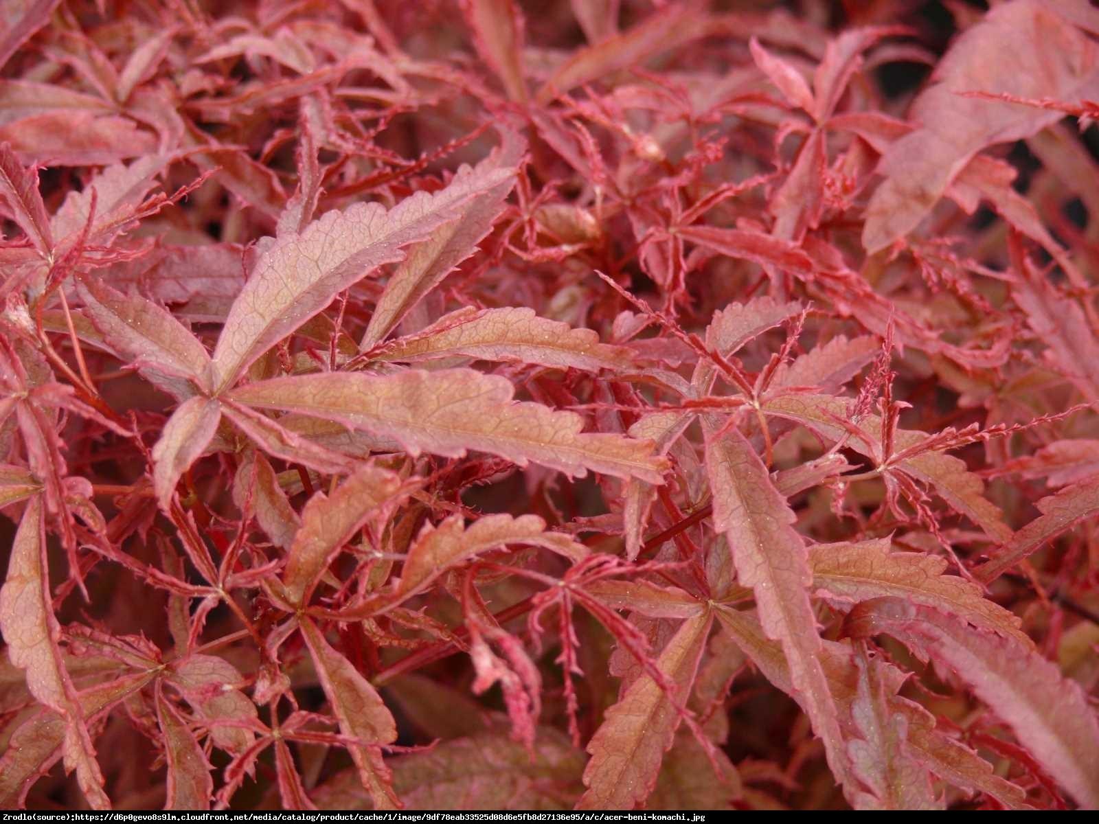 Klon Palmowy  Beni-Maiko  - Acer palmatum  BENI-MAIKO