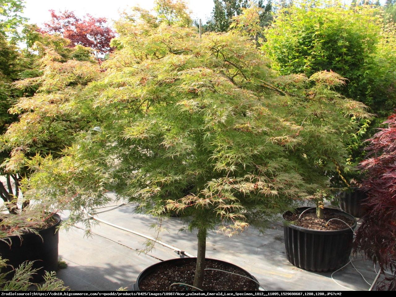 Klon palmowy Emerald Lace - Acer palmatum Emerald Lace