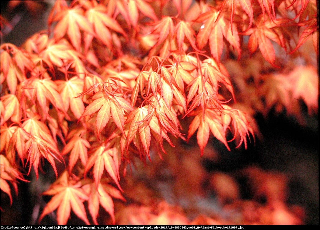 klon palmowy  Katsura  - Acer palmatum  Katsura