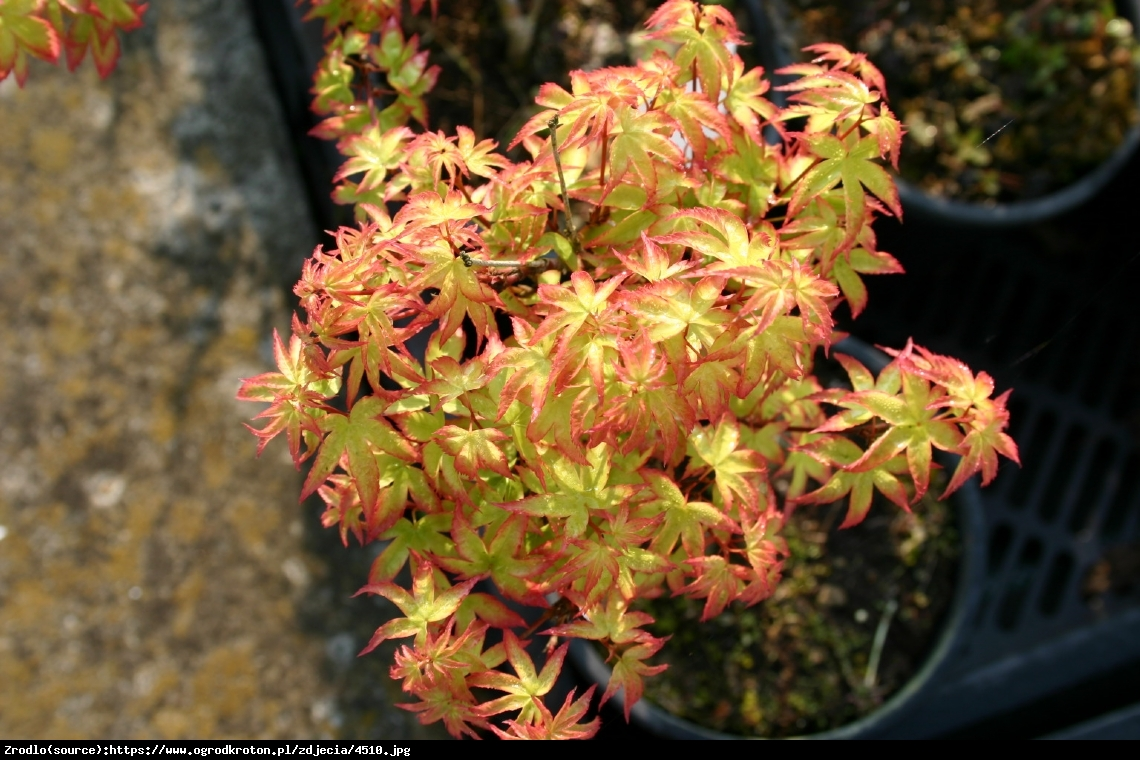 Klon palmowy  Little Princess  - Acer palmatum  Little Princess