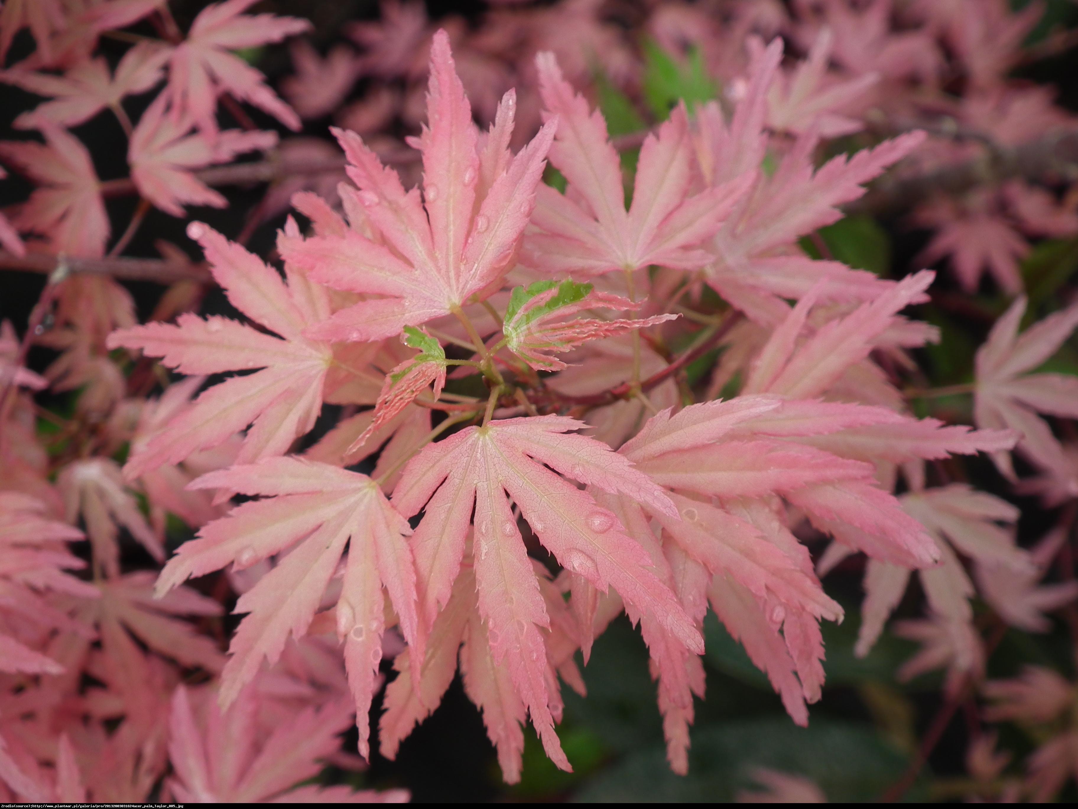 Klon palmowy Taylor - Acer palmatum Taylor