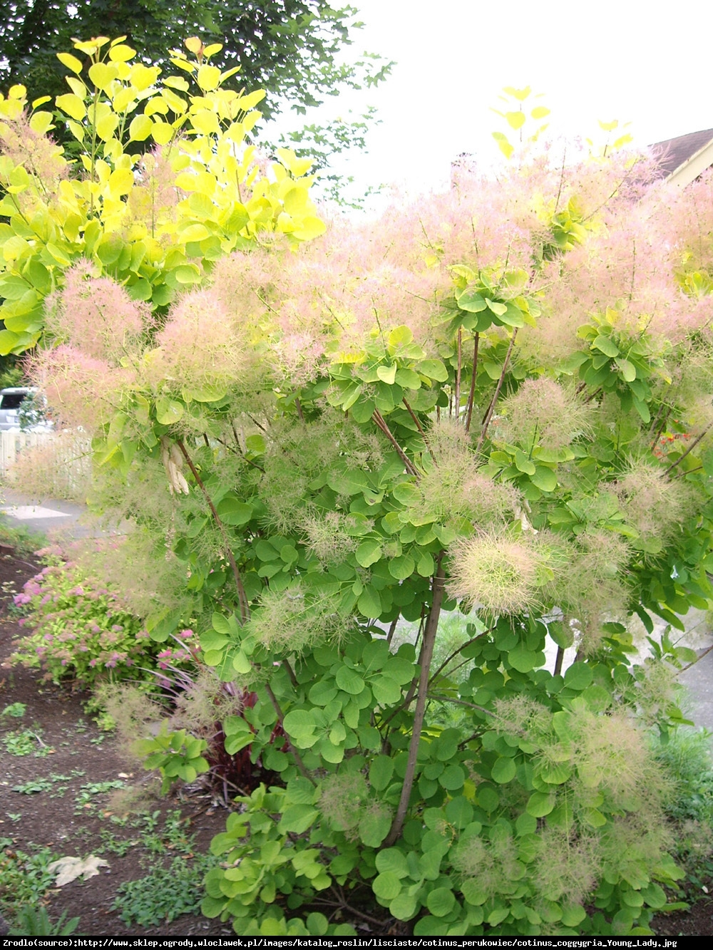 perukowiec podolski  Young Lady  - Cotinus coggygria  Young Lady