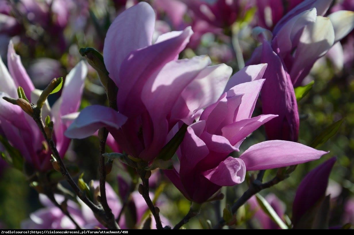 Magnolia Betty - Magnolia Betty