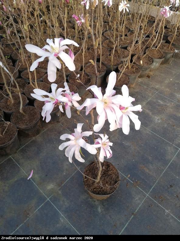magnolia Loebnera  Leonard Messel  - Magnolia loebneri  Leonard Messel