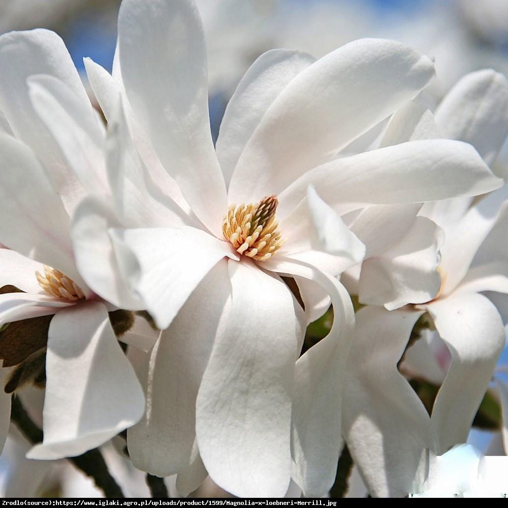 magnolia Loebnera Merrill  - Magnolia x loebneri  Merrill