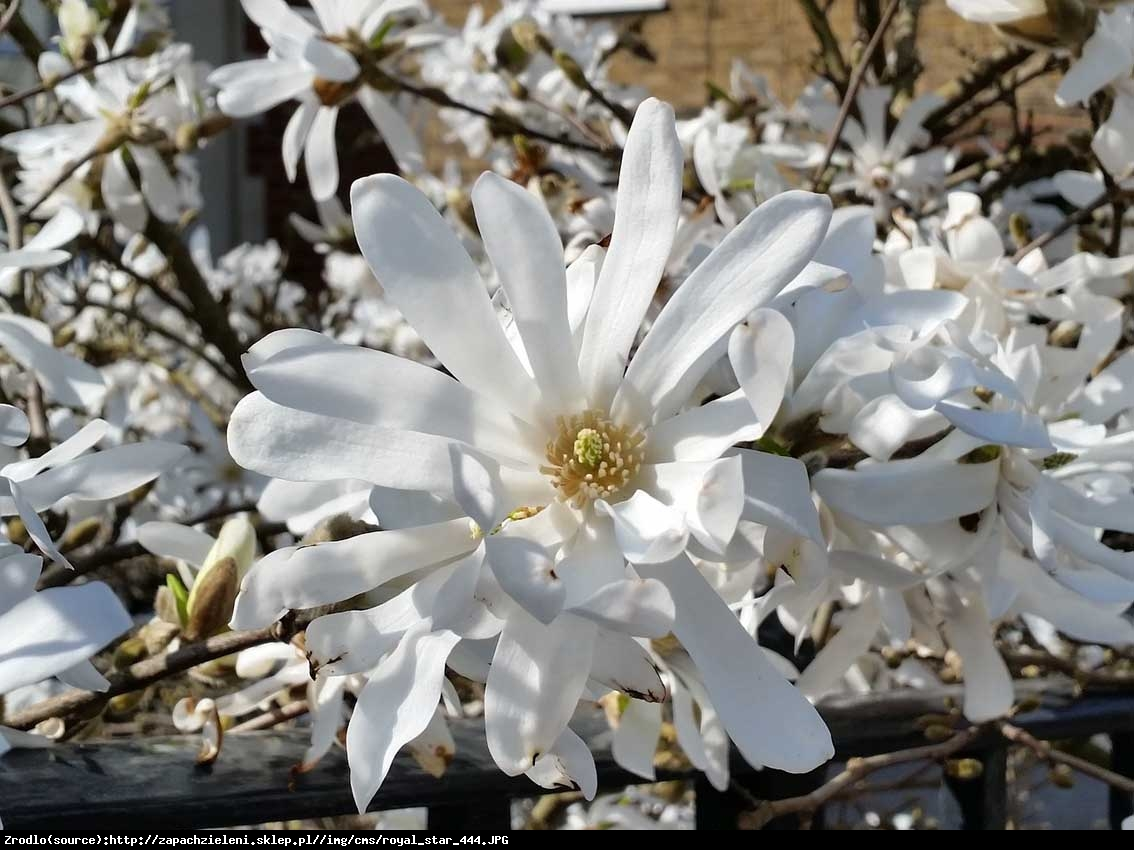 magnolia gwiaździsta  Royal Star  - Magnolia stellata  Royal Star