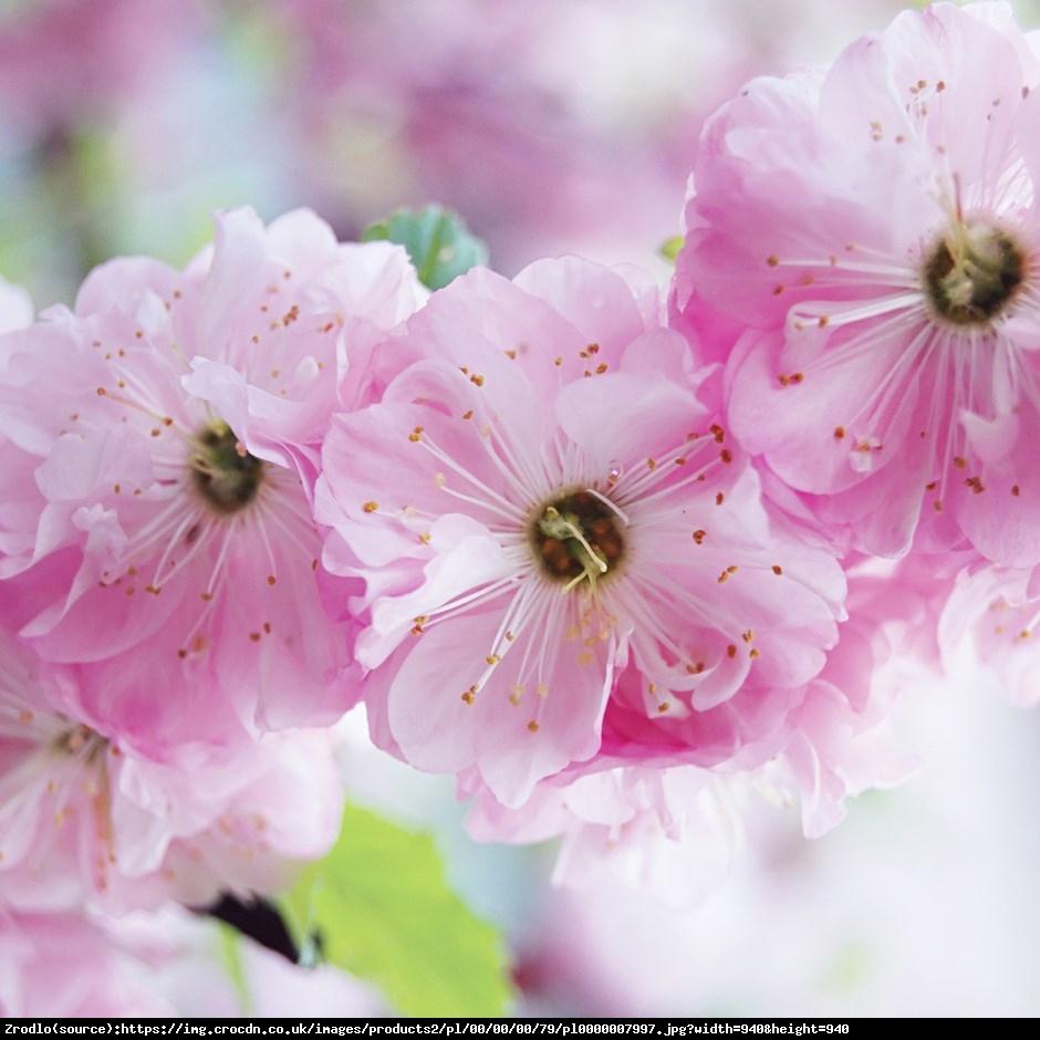 migdałek trójklapowy  Rosenmund  - Prunus triloba  Rosenmund