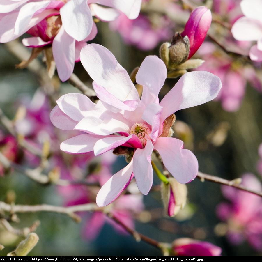 magnolia gwiaździsta  Rosea  - Magnolia stellata  Rosea