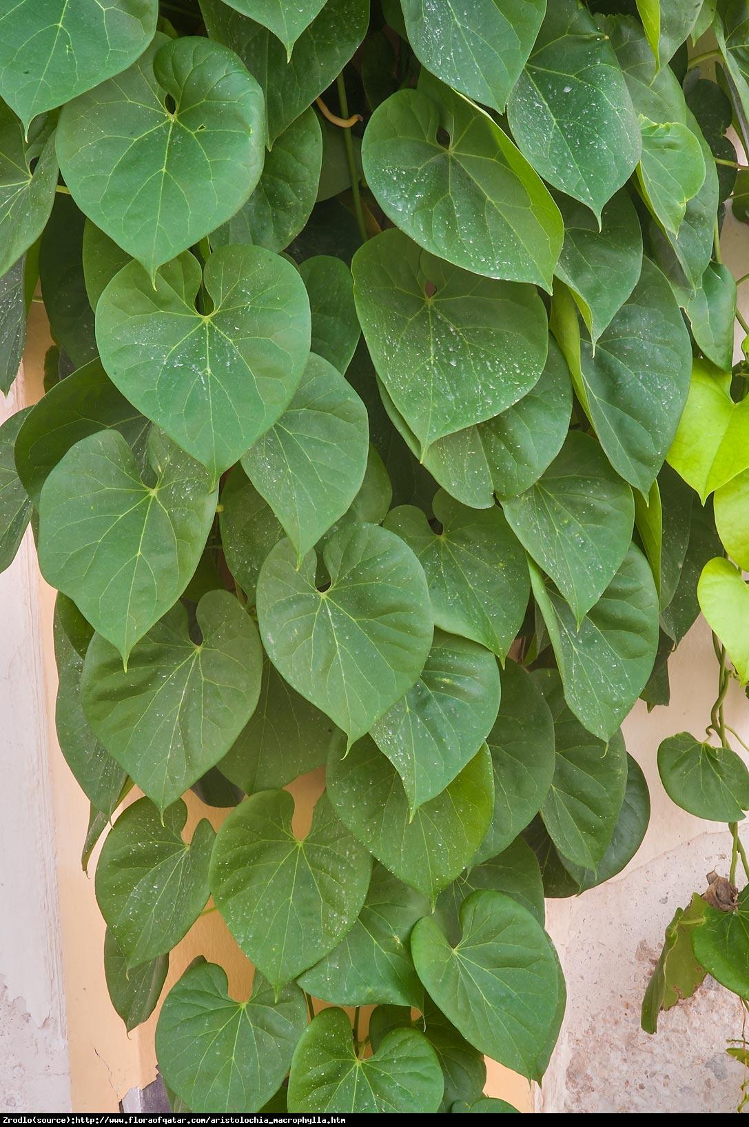 kokornak wielkolistny - Aristolochia macrophylla