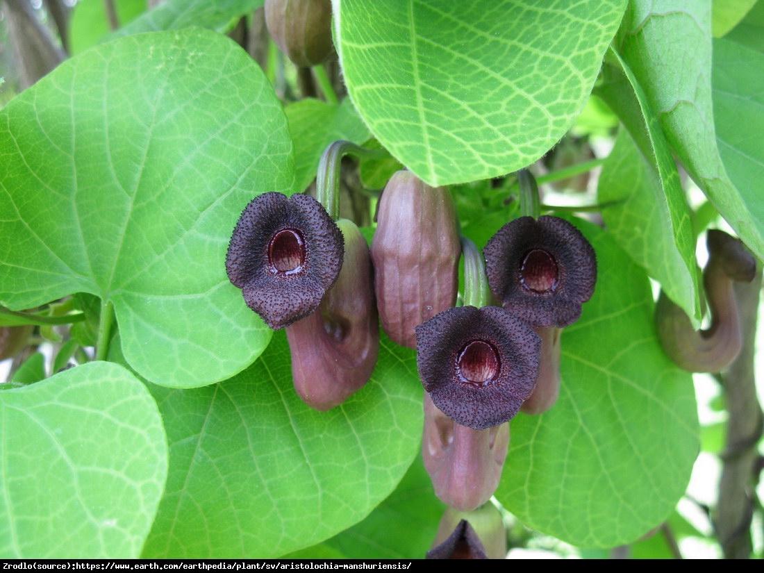 kokornak mandżurski - Aristolochia manshuriensis