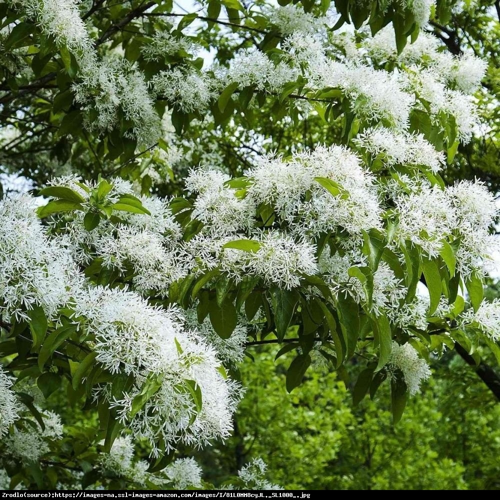 Śniegowiec chiński - Chionanthus retusus
