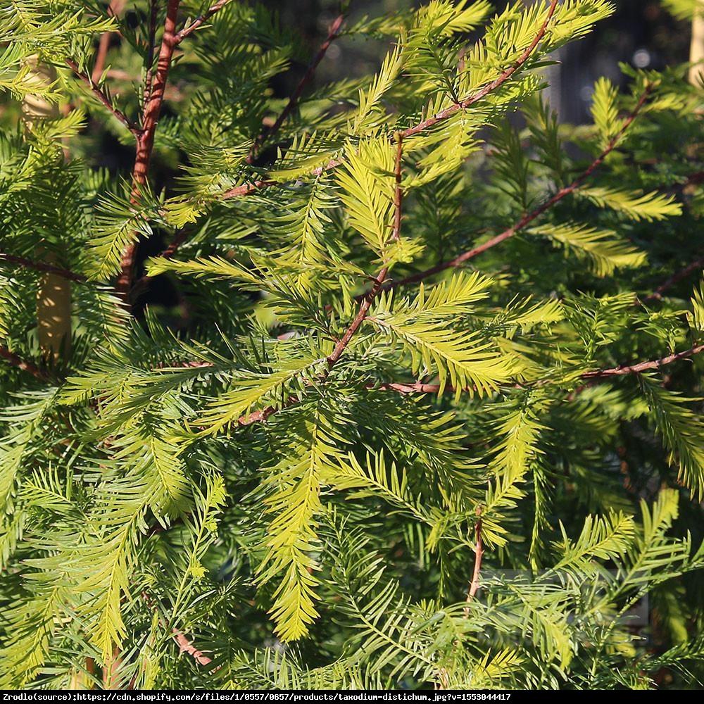 cypryśnik błotny - Taxodium distichum