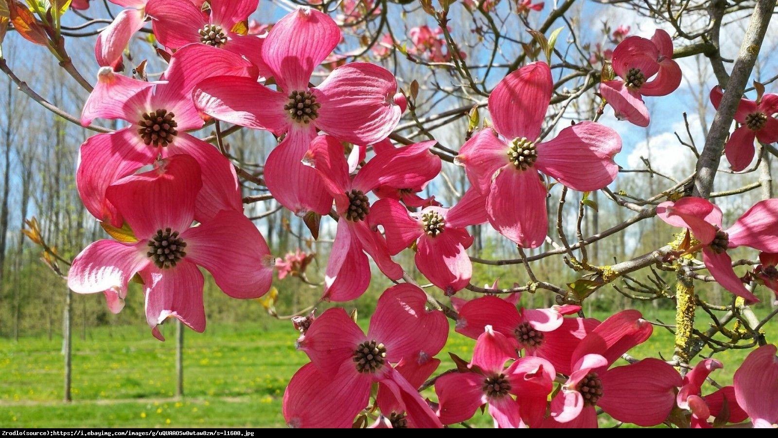 Dereń kwiecisty CHEROKEE CHIEF  - Cornus florida CHEROKEE CHIEF