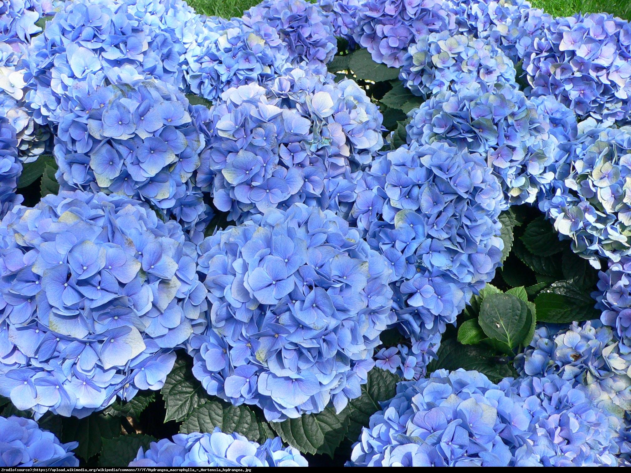 Hortensja ogrodowa Baby Blue - Hydrangea macrophylla Baby Blue