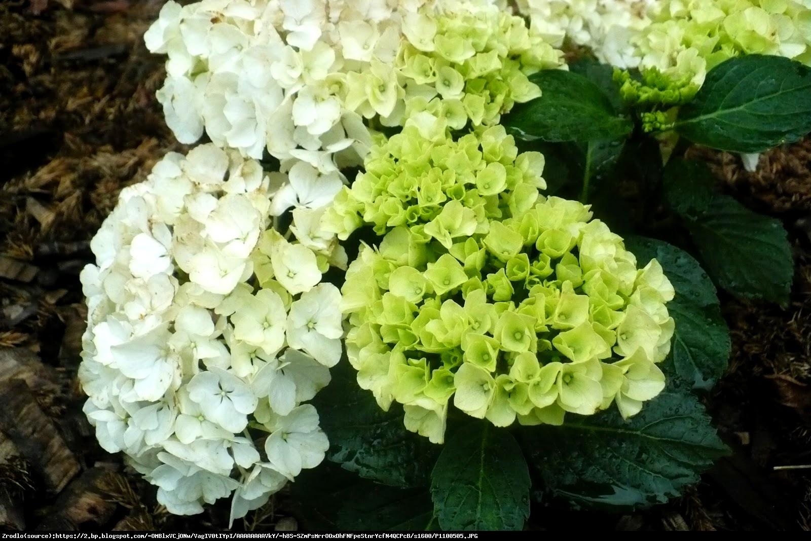 Hortensja ogrodowa  Bianco  - Hydrangea macrophylla  Bianco