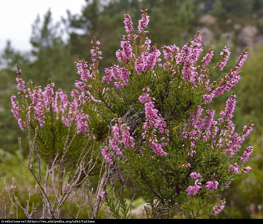 Wrzos pospolity w odmianach - Calluna vulgaris