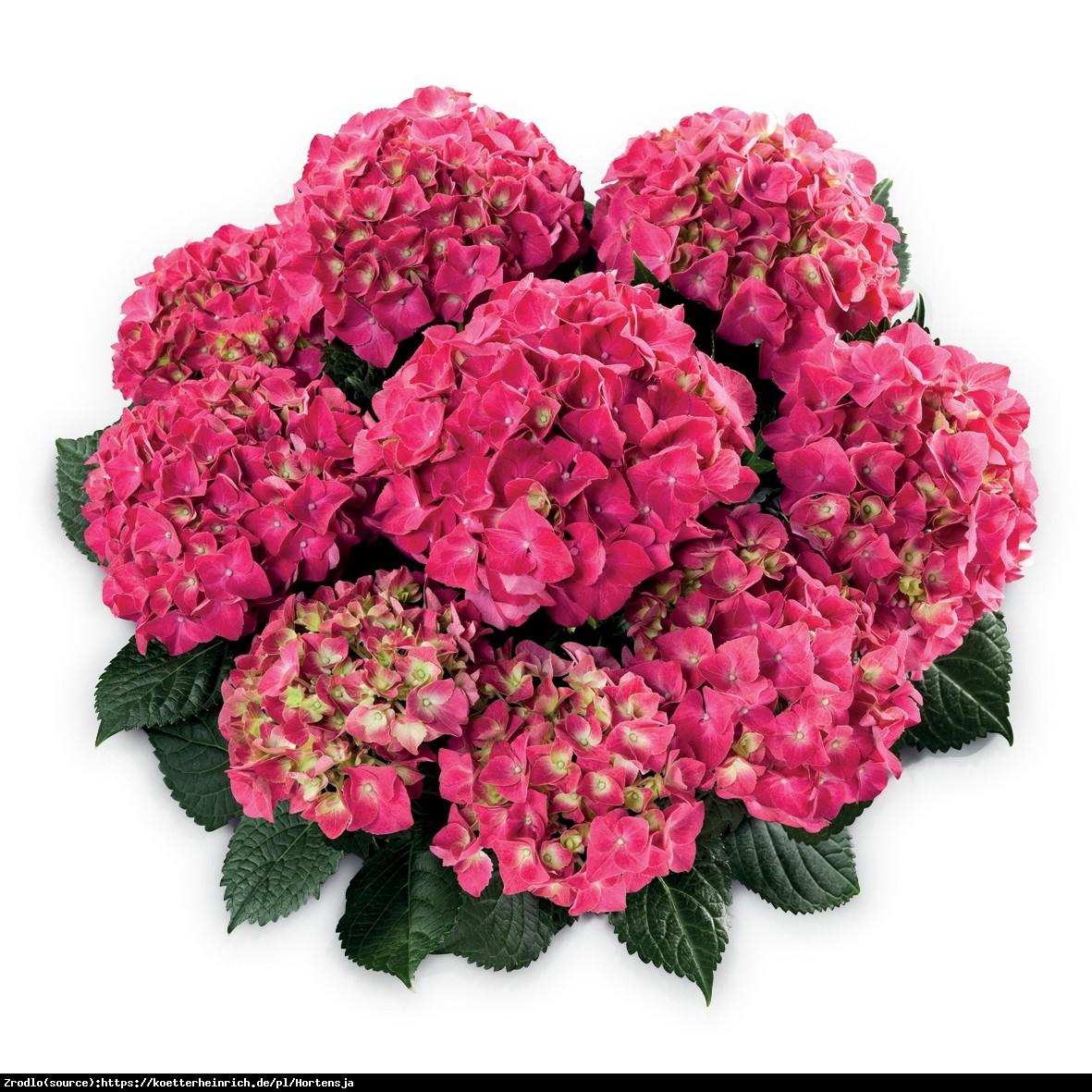 Hortensja Ogrodowa Speedy Red -  Hydrangea macrophylla Speedy Red
