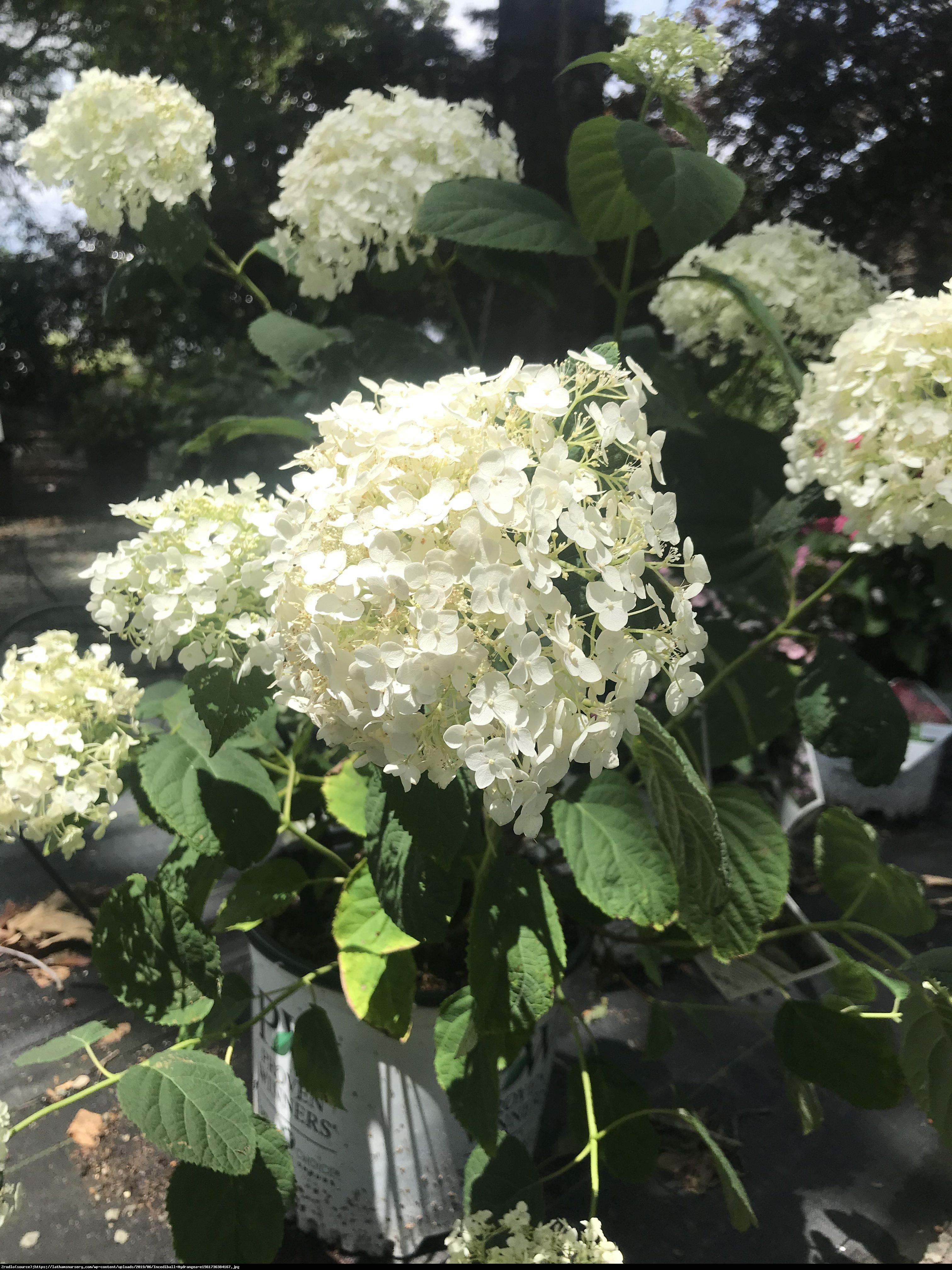 Hortensja ogrodowa Vanilla Sky - hydrangea macrophylla vanilla sky