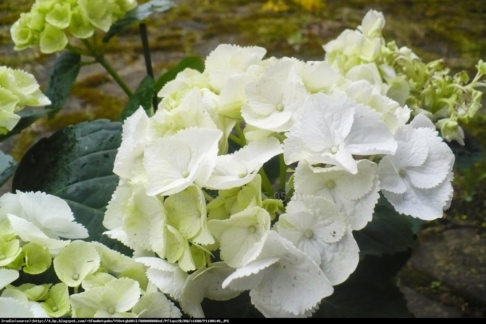 Hortensja ogrodowa Clarissa - Hydrangea macrophylla  Clarissa