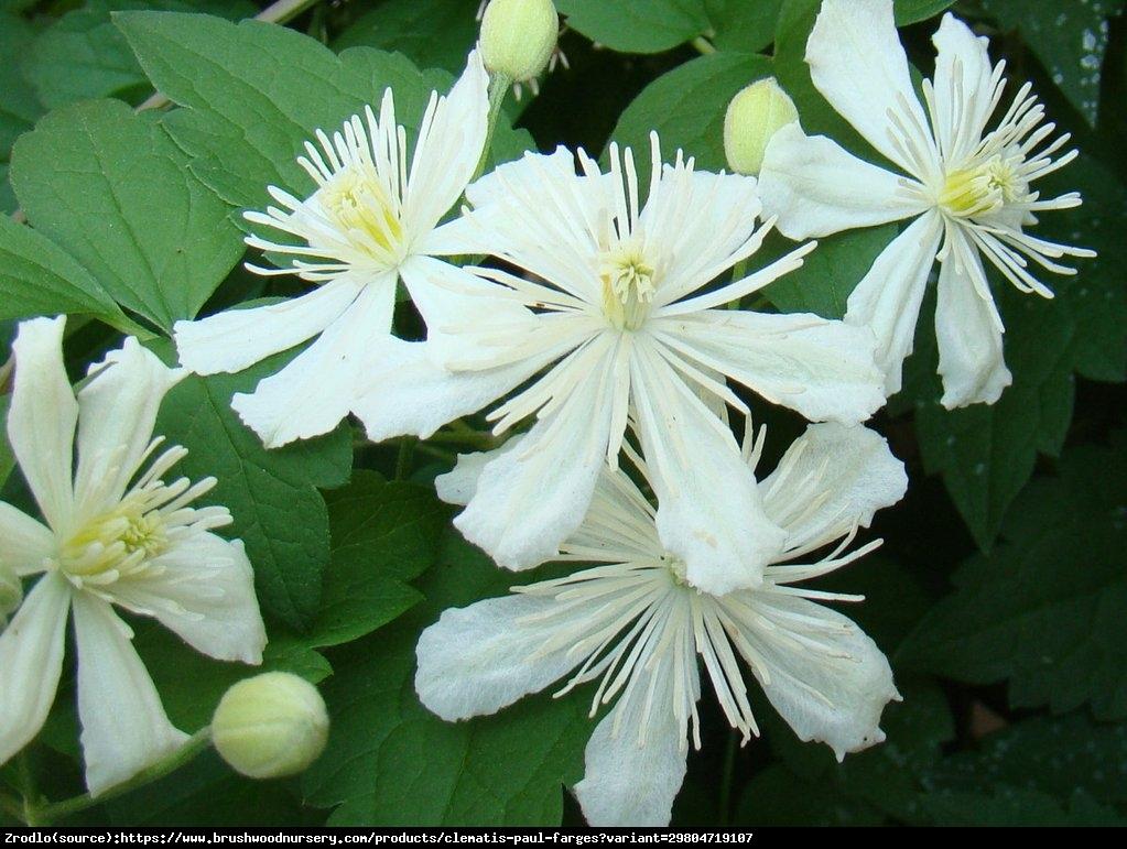 Powojnik (botaniczny) Pachnący Paul Farges  - CLEMATIS PAUL FARGES