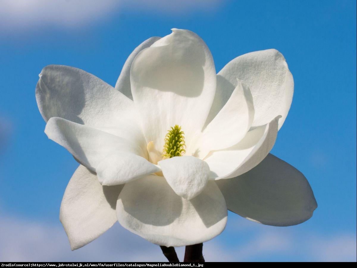 Magnolia  Double Diamond  - Magnolia denudata  Double Diamond