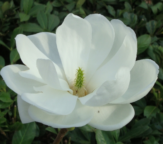 Magnolia  Double Diamond  - Magnolia denudata  Double Diamond