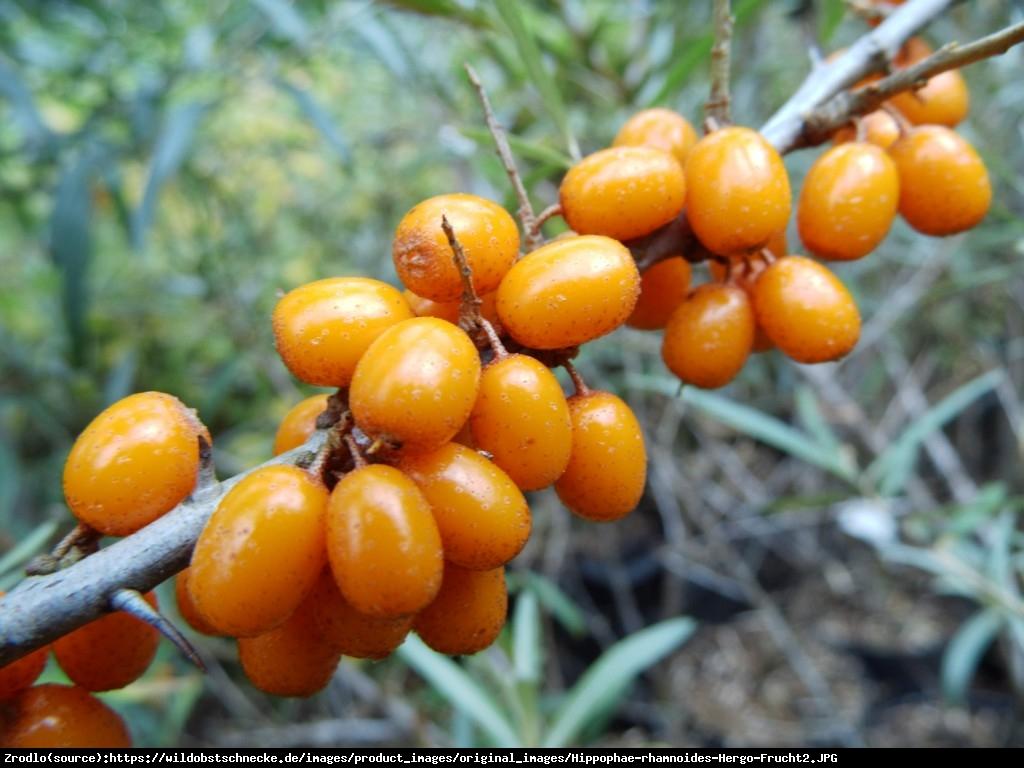 Rokitnik pospolity  Hergo  - Hippophae rhamnoides  Hergo