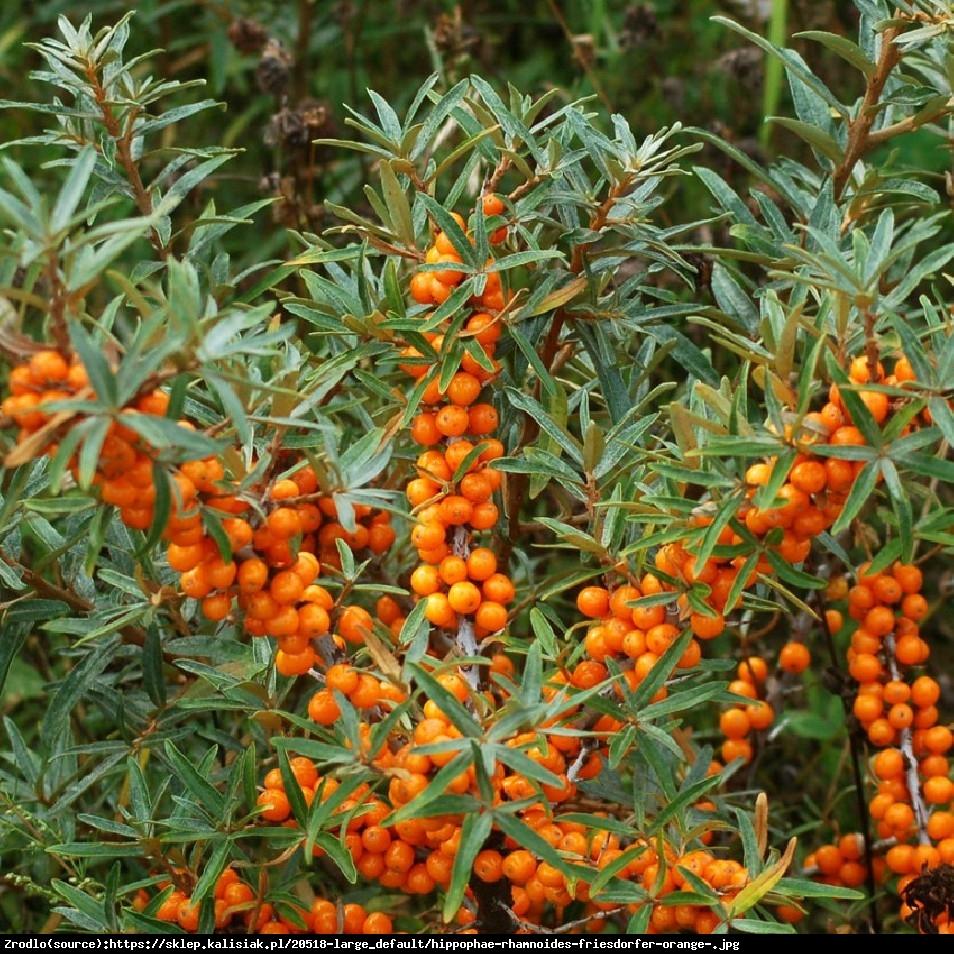 Rokitnik pospolity  Leikora  - Hippophae rhamnoides  Leikora