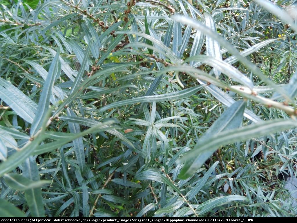 Rokitnik pospolity  Pollmix - męski zapylacz - Hippophae rhamnoides  Pollmix