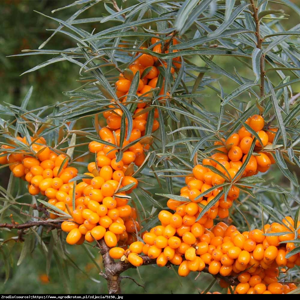 rokitnik samopylny FRIESDORFER ORANGE  - Hippophae rhamnoides FRIESDORFER ORANGE