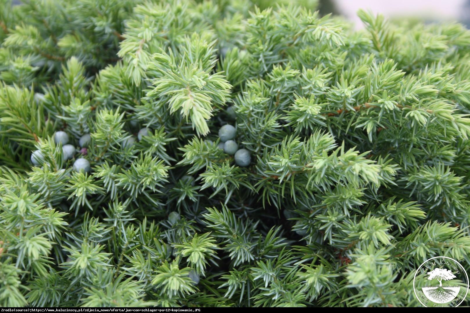 jałowiec nadbrzeżny  Schlager  - Juniperus conferta  Schlager