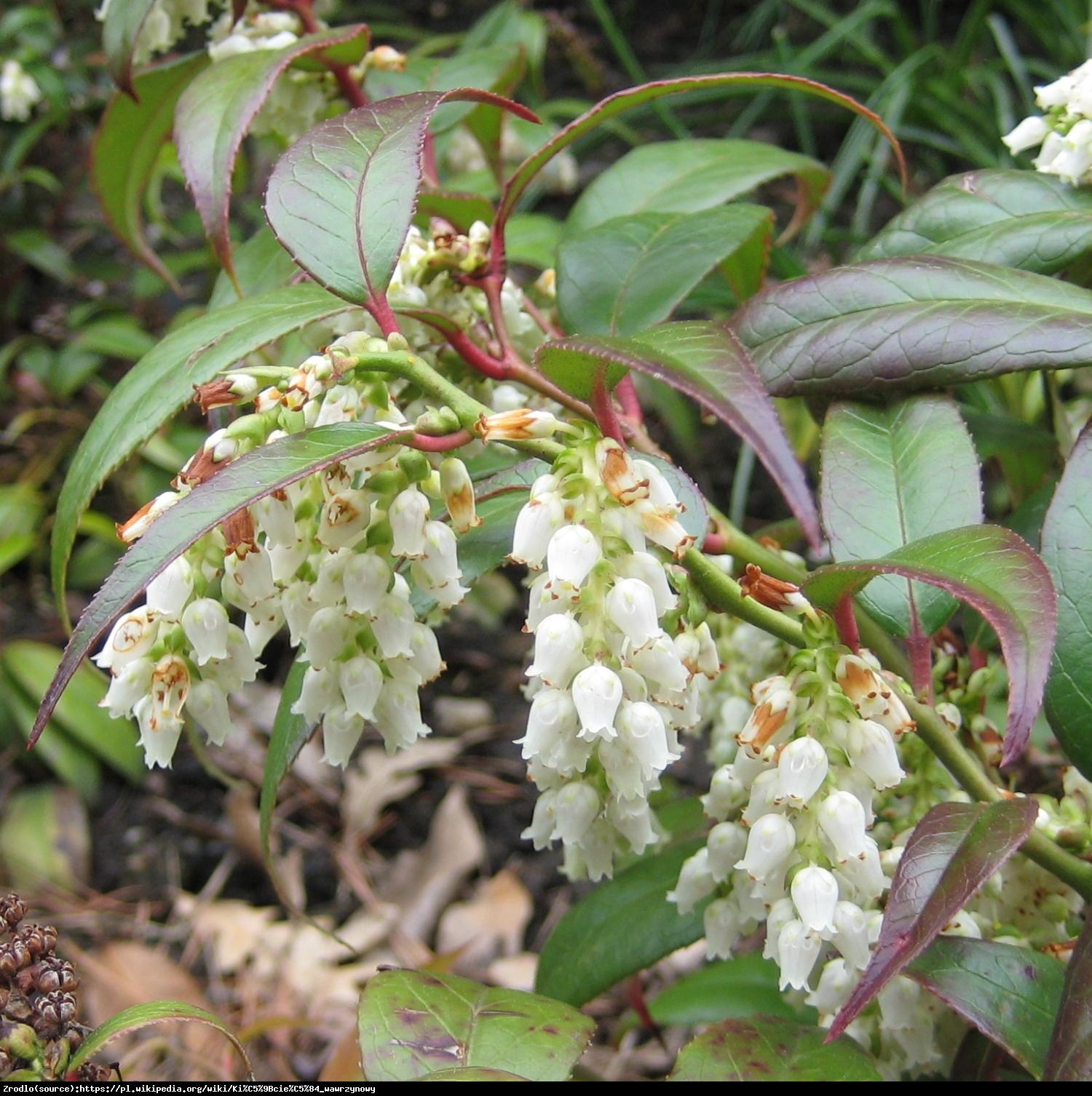 Kiścień wawrzynowy  - Leucothoe fontanesiana