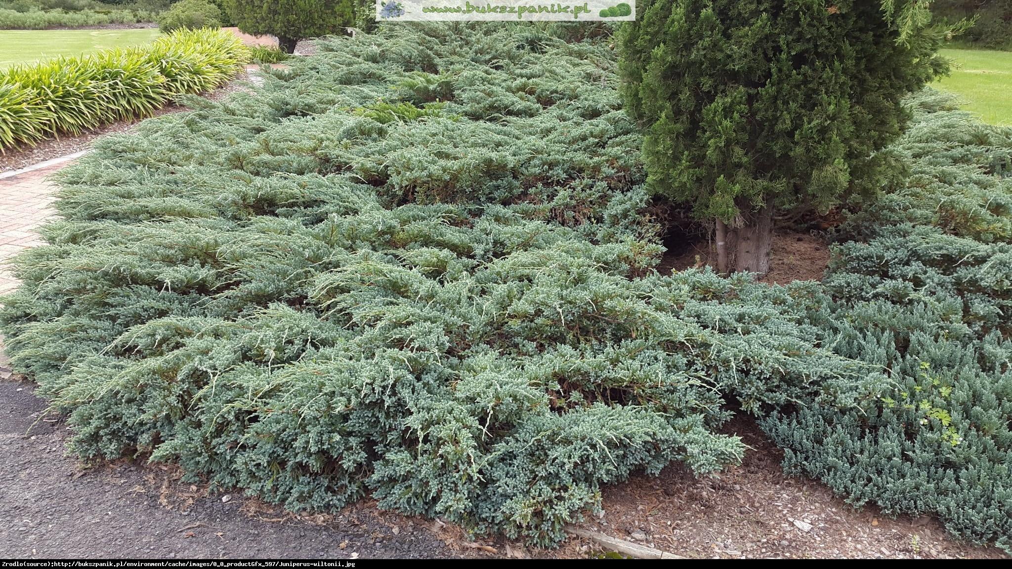 jałowiec płożący  Wiltonii  - Juniperus horizontalis  Wiltonii