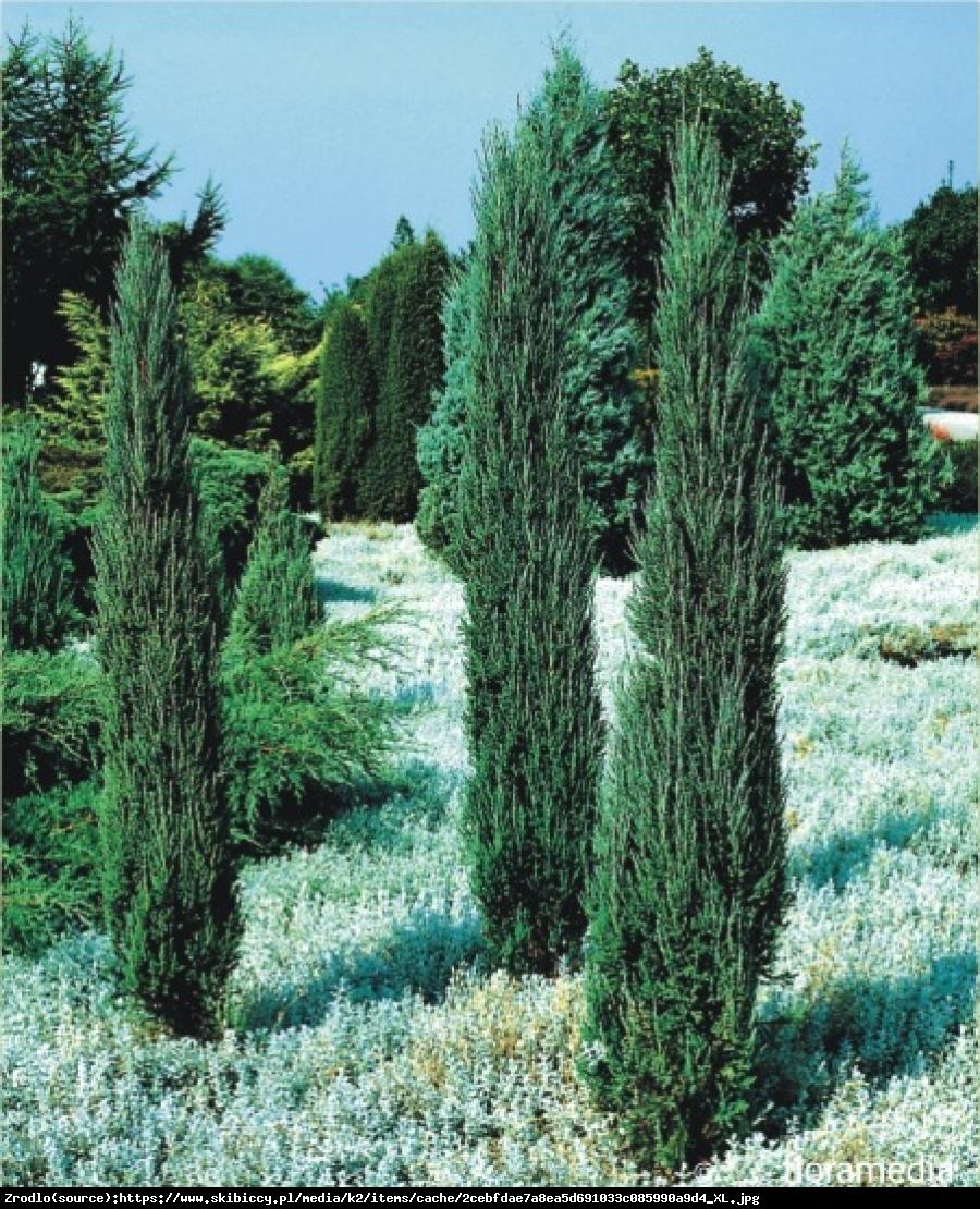 jałowiec skalny  Blue Arrow  - Juniperus scopulorum  Blue Arrow