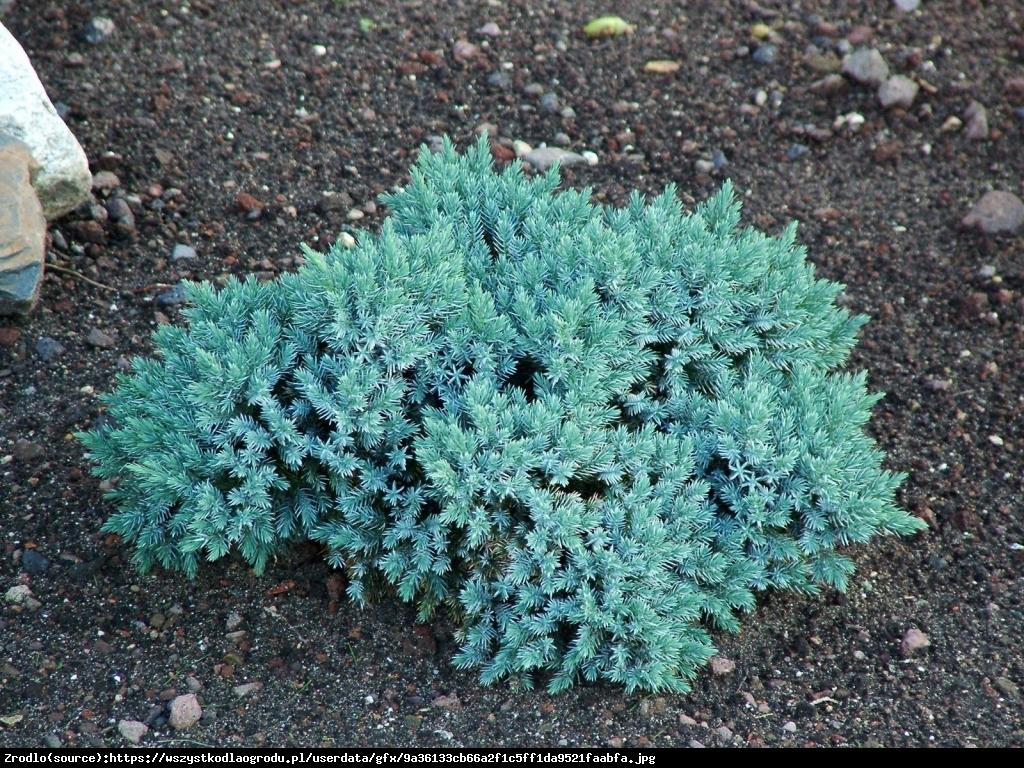 jałowiec łuskowaty  Blue Carpet  - Juniperus squamata  Blue Carpet