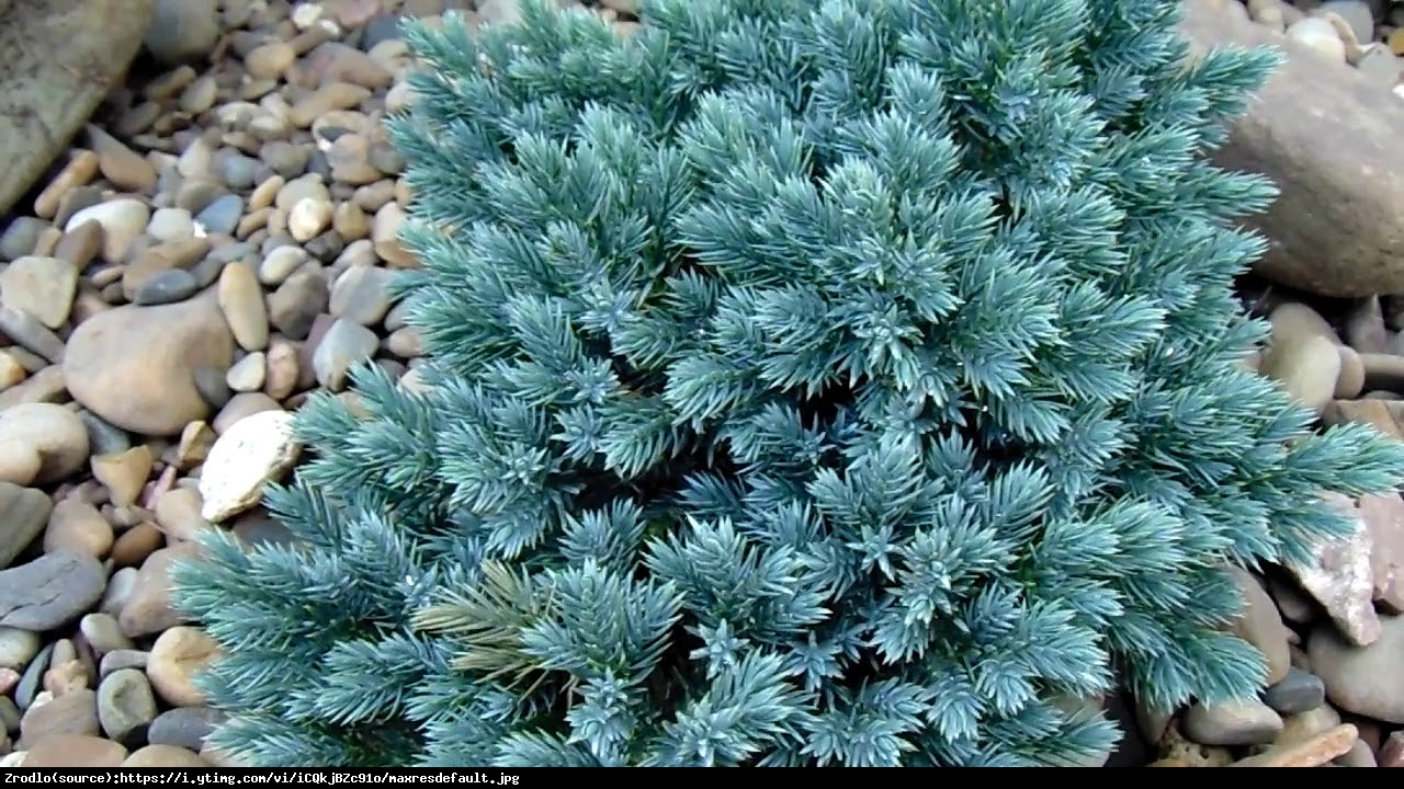 Jałowiec łuskowaty  Blue Star  - Juniperus squamata  Blue Star