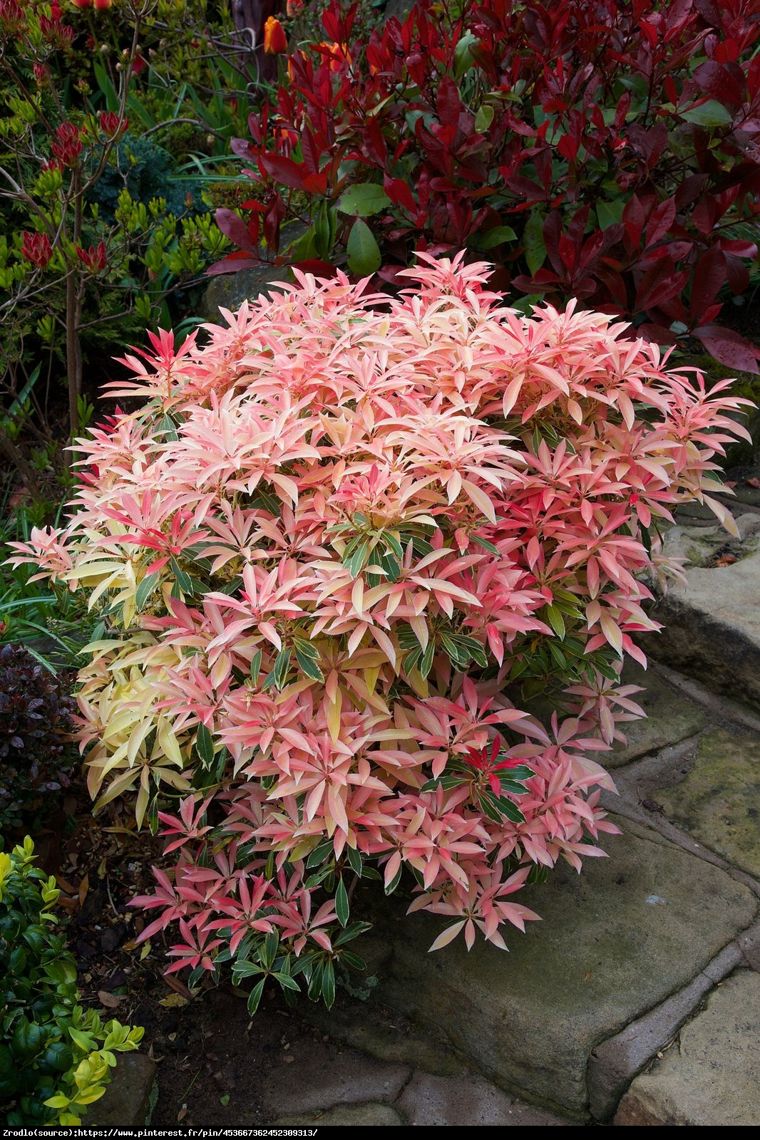 Pieris japoński Flaming Silver - Piersi japonica Flaming Silver