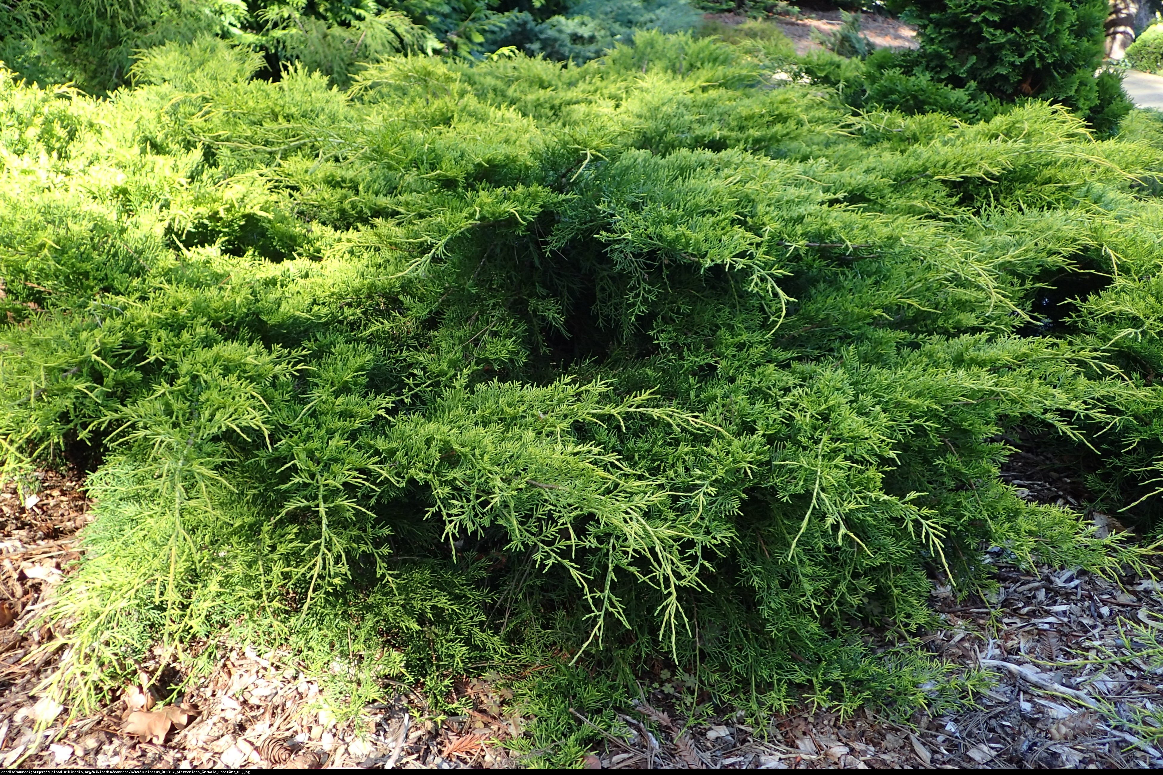 jałowiec Pfitzera  Gold Coast  - Juniperus pfitzeriana  Gold Coast