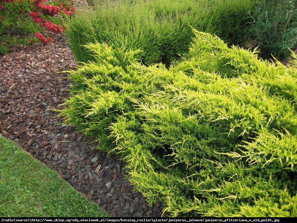 jałowiec Pfitzera  Gold Star  - Juniperus pfitzeriana  Gold Star