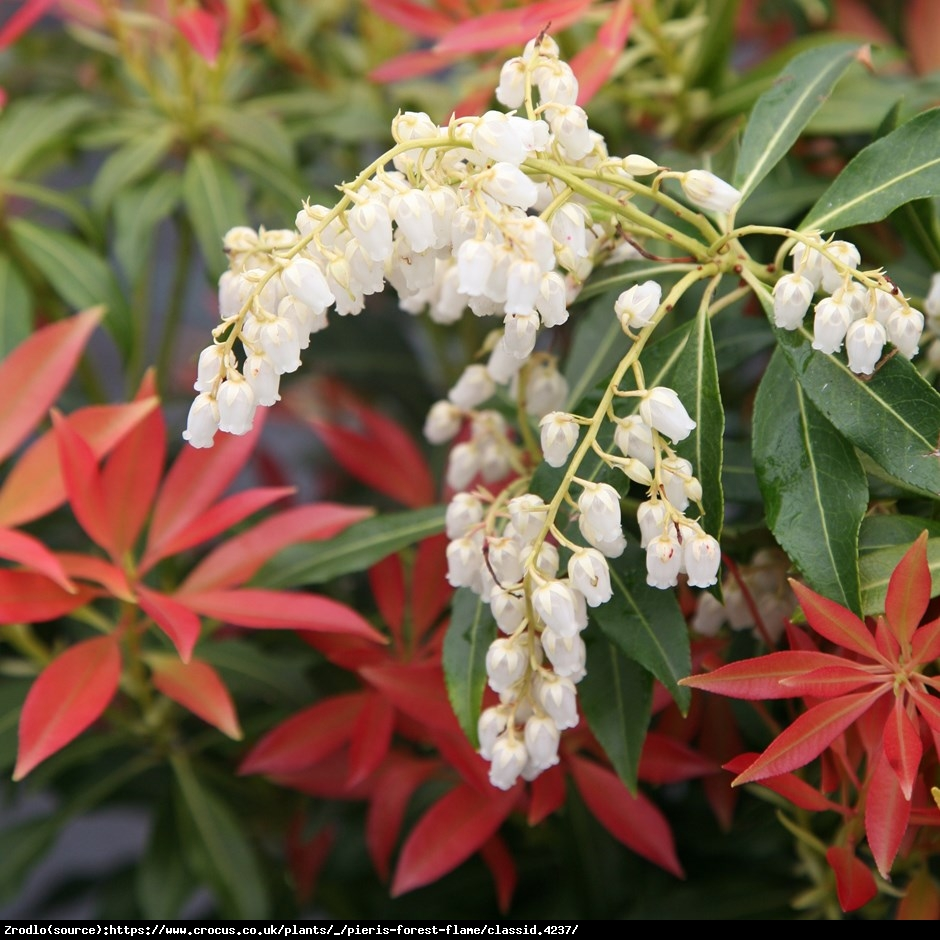 Pieris japoński Forest Flame - Pieris japonica Forest Flame