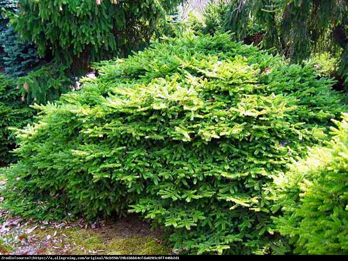 świerk pospolity  Tabuliformis - Picea abies  Tabuliformis