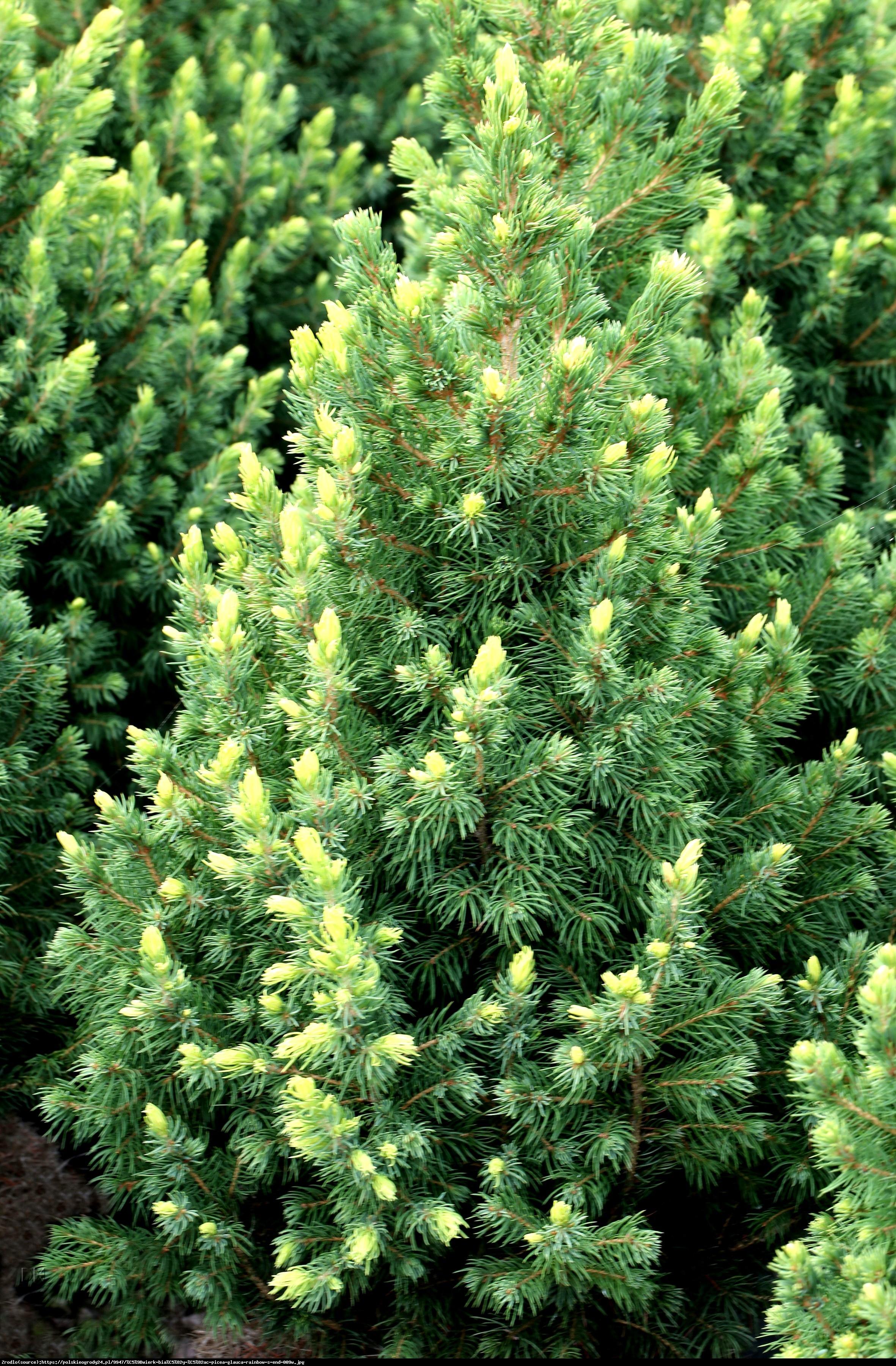 świerk biały  Rainbow s End  - Picea glauca  Rainbow s End