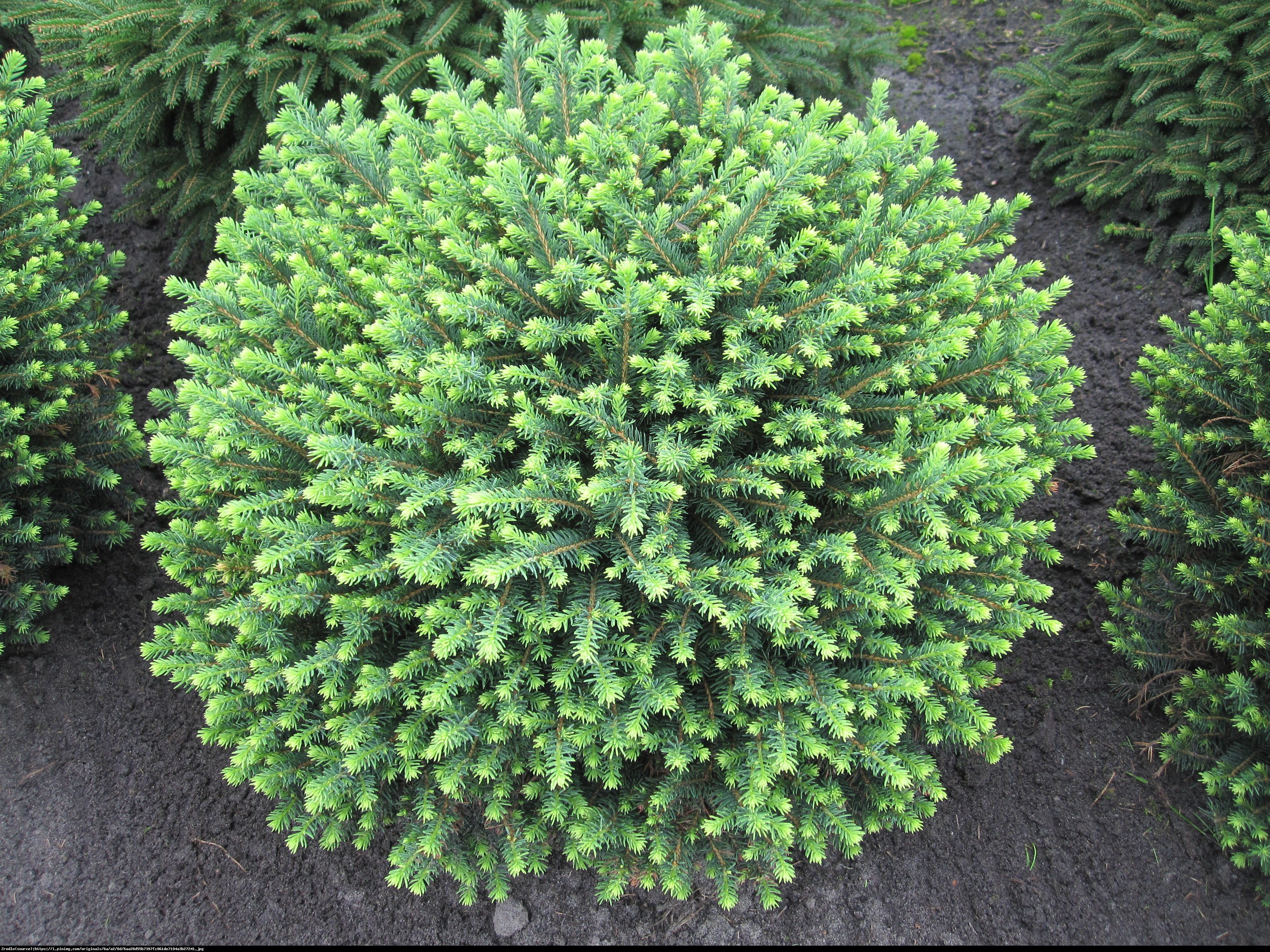 świerk serbski 'Karel' - Picea omorika  Karel